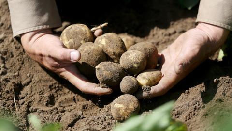 Die Bauern befürchten eine niedrige Kartoffelernte