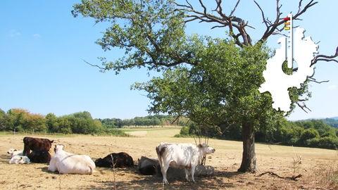 Kühe auf einer ausgetrockneten Weide im Vogelsberg