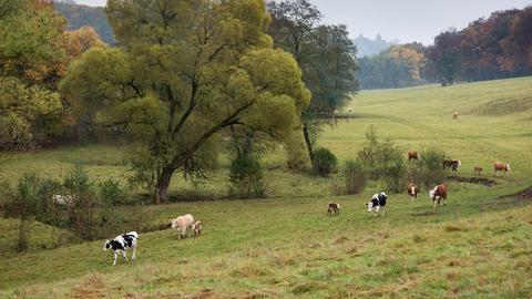 Kuhweide im Reinhardswald
