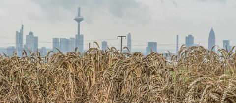 Plattgedrücktes Getreide vor der Frankfurter Skyline