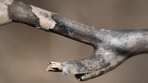 Ein toter Ast, von der Rußrindenkrankheit befallen.