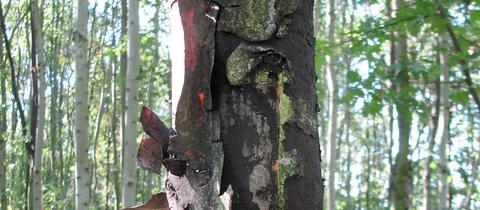 Ein von der Rußrindenkrankheit befallener Baum.