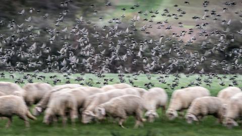 Eine Schafherde auf einer Weide auf dem Heiligenstock bei Frankfurt.