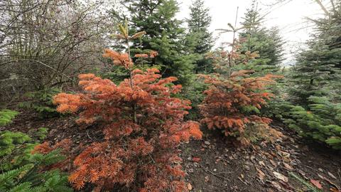 Ein verdorrter Tannenbaum in einer Plantage.