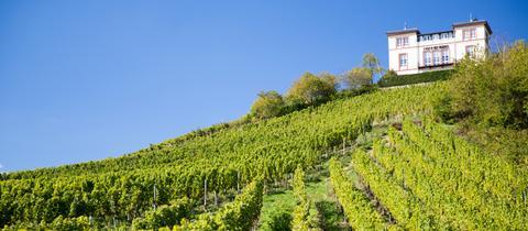 Weinreben am Rauenthaler Nonnenberg im Rheingau