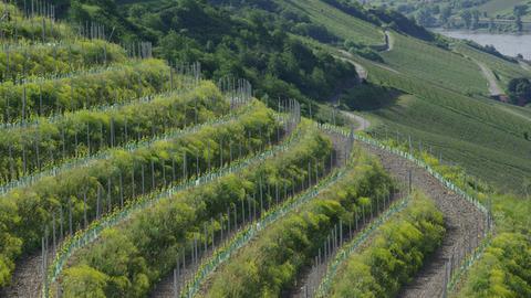 Weinberg im Mittelrheintal mit Reben auf Quertarrassen und dazwischen gepflanzten Büschen zum Erosionsschutz