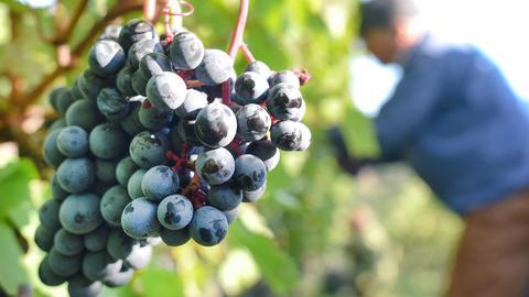 Weinlese Weintrauben Reben