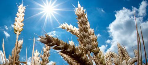 Getreideähren auf einem Feld. Wegen der Hitze haben Bauern weniger geerntet
