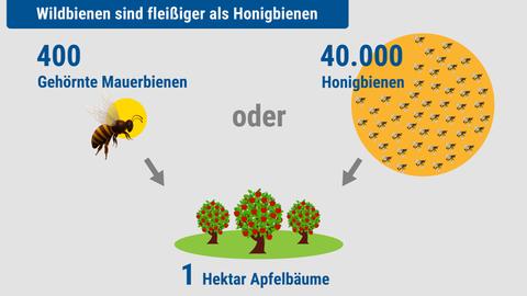 Schwerstarbeiter: 400 Gehörnte Mauerbienen bestäuben so viele Apfelbäume wie 40.000 Honigbienen.