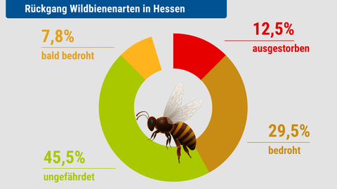 Rückgang der Wildbienenarten in Hessen: 12,5% ausgestorben oder verschollen, 29,5% vom Aussterben bedroht, 7,8% bald bedroht.